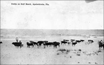 Cattle on the beach: Apalachicola, Florida