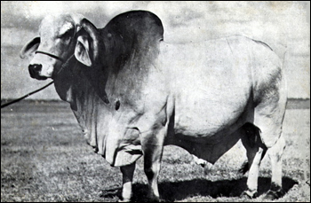Emperor: registered Guzerat Brahman bull bred and raised on the ranch of Henry O. Partin and sons, Kissimmee, Florida
