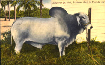 Brahman bull: Bradenton, Florida