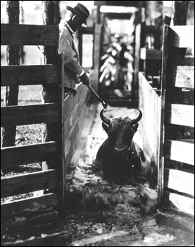 Duval County man dipping and paint marking cattle (1923)