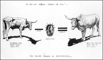Effects of ticks on cattle (1913)