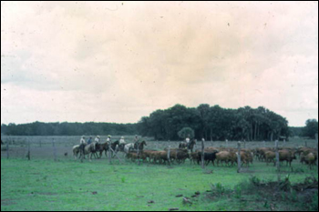 Cowboys driving cattle (1961)