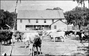 Captain F. A. Hendry's home at Fort Thompson with cows in yard