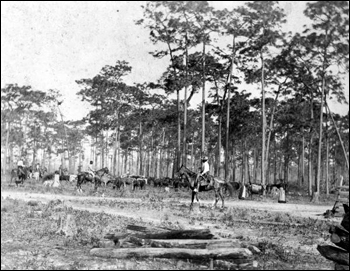 Cattle drive at Bartow (189-)