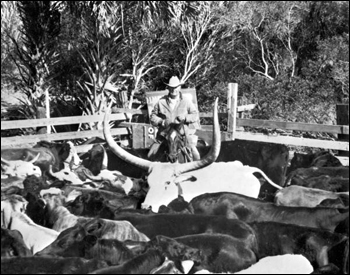 Clark Yates in his cattle pen (19--)