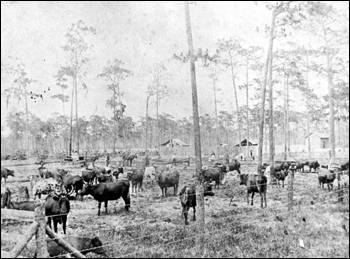 First barbed wire fencing in Osceola County : Kissimmee, Florida (c. 1910)