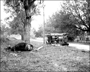 Cow killed by an automobile: Volusia County, Florida (192-)
