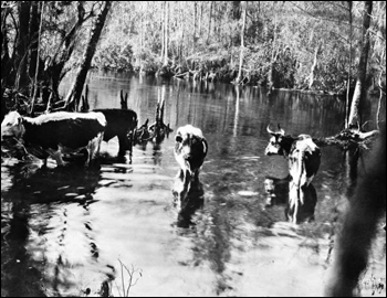 Range cattle at Wakulla Springs