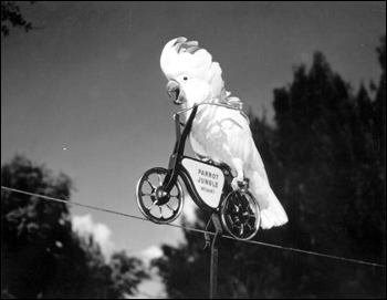 Cockatoo on a &quot;bicycle&quot; at Parrot Jungle: Miami, Florida (196-)