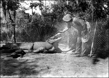 Man petting an alligator at an alligator farm: St. Augustine, Florida (1946)