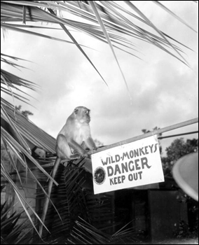 Monkey by sign at Monkey Jungle: Miami, Florida (1946)