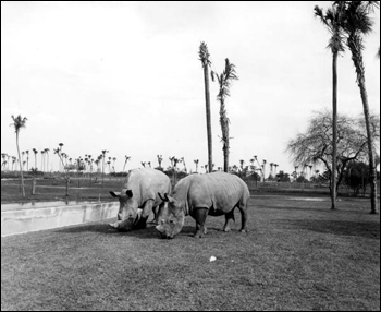 Rhinoceroses at Busch Gardens: Tampa, Florida (1965)