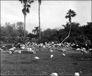 Flocks of flamingos at Busch Gardens: Tampa, Florida