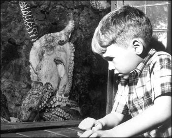 Young boy stares at a small octopus at the Miami Seaquarium (19--)