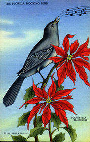 Florida mockingbird and poinsettia blossoms