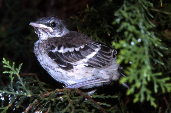 Young Northern Mockingbird (Mimus polyglottos): Cape Canaveral, Florida
