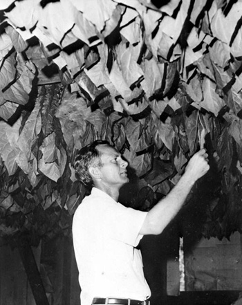 Checking newly hung tobacco in the curing barn: Gadsden County, Florida(196-)