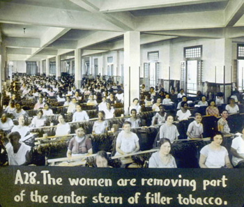 Women removing part of the center seam of filler tobacco (192-)