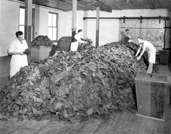 Interior view of a cigar factory during a blending operation: Tampa, Florida (19--)