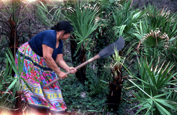 Seminole woman gathering palmettos: Big Cypress Seminole Indian Reservation (not after 1980)
