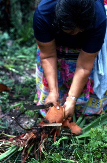 Mary B. Billie harvesting palmetto fibers for dollmaking: Big Cypress Seminole Indian Reservation, Florida (not after 1980)