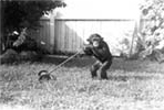 Baby chimpanzee mowing the lawn: Kendall, Florida