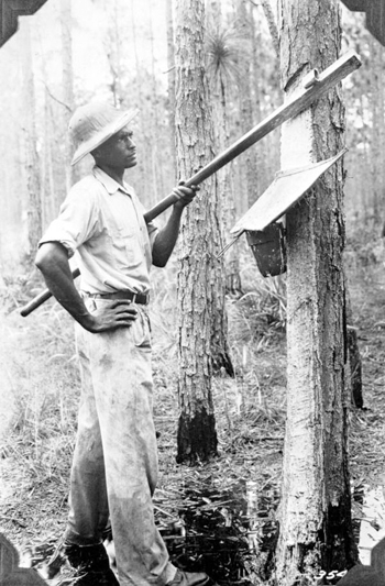 Chipping a tree to make turpentine (193-)