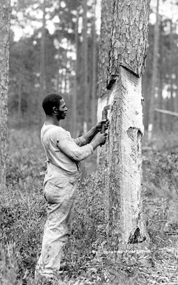 Scraping a tree to make turpentine (189-)