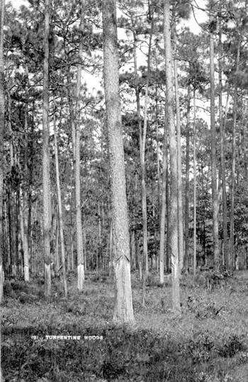 Scraped pines for turpentine (189-)