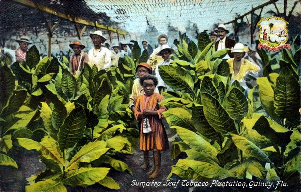 Florida Memory - Sumatra leaf tobacco plantation - Quincy ...